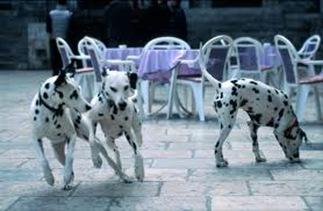 dalmatian_Dogs